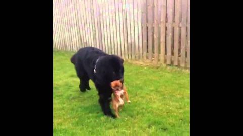 Newfoundland Puppy Dog Carries Smaller Puppy Dog in Mouth