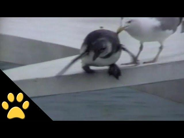 Mean Seagull Shoves Penguin Off Ledge