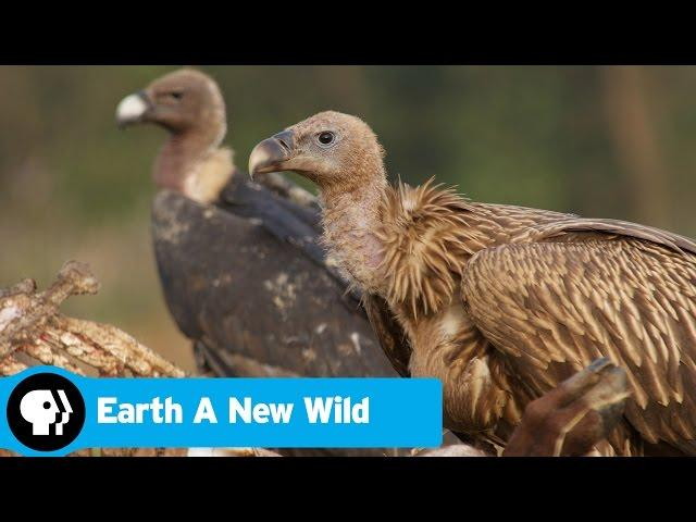 EARTH A New Wild | Vultures Scavenge a Carcass (GRAPHIC) | PBS